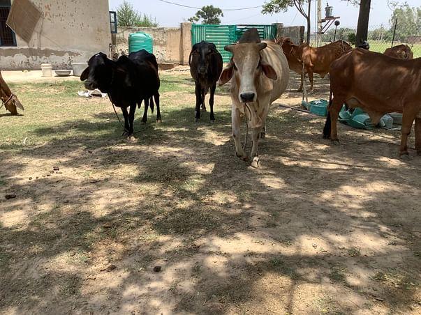 Support Sahil Vashisht To Help Helpless Cows