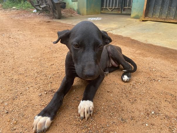 Help Black Forest To Cure Her Hip Joint & Internal Organs