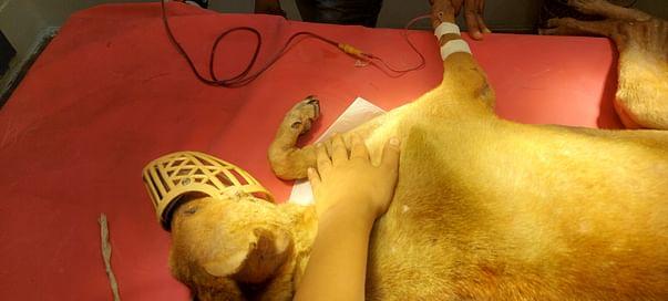 Saheb undergoing transfusion
