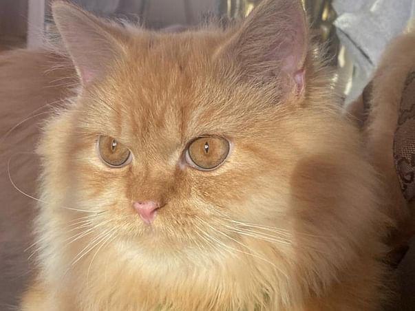 Help My Cat Beat Feline Coronavirus (FIP)
