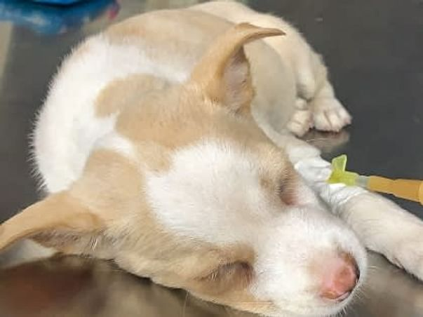 Seeking Funds To Save Shakti, An Abandoned Ailing Street Pup