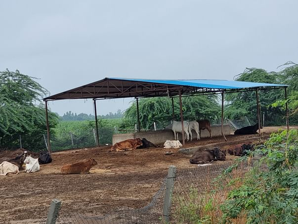 Support Us To Run Our Cow Shelter