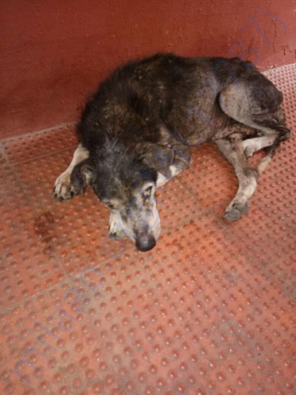 Grandpa Pic -  An old dog who is suffering from Tick Fever and Anemia.